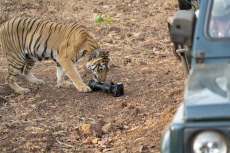 TIGER STEALS CAMERA