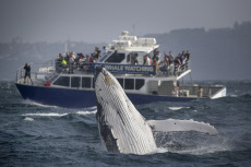 WHALE BREACH CLOSE TO BOAT