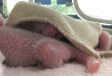 CHINA-SICHUAN-CHENGDU-GIANT PANDA TWINS-BIRTH (CN)