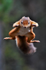 A red squirrel perfects its Superman pose