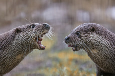 Three otters happily chatter on a river bank