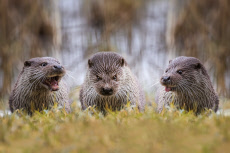 Three Otters Happily