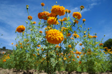 Mexico: Day of the Dead flower Cultivation