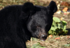 Russia: First Asian black bear shelter in Russia opens in Primorye Territory