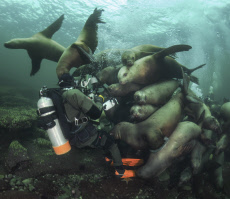 SEA LIONS AND DIVER