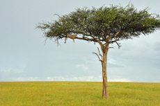 The leopard rests in the tree