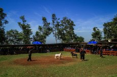 Sheep fighting competition in Cimahi, Indonesia - 16 Nov 2019