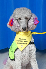 PINK POODLE THERAPY DOG