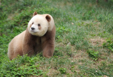 CHINA-SHAANXI-CAPTIVE BROWN GIANT PANDA-ADOPTION (CN)