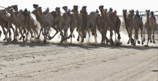 (SP)KUWAIT-AL AHMADI GOVERNORATE-GCC SIXTH CAMEL RACING TOURNAMENT