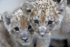 Russia: Barbary lion cubs at Sadgorod Zoo in Vladivostok