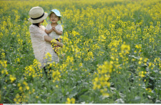 CHINA-BEIJING-RAPE FLOWER-BLOSSOM (CN)