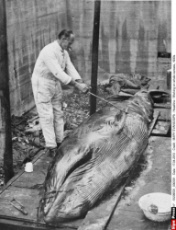 Working on whale carcass, 1930s
