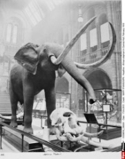 African elephant in Central Hall, February 1910