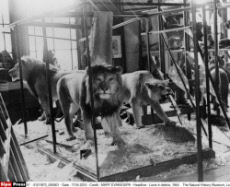 Lions in debris, 1944 .  The Natural History Museum, London.