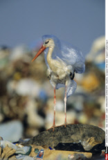 European White Stork - trapped in plastic bag in